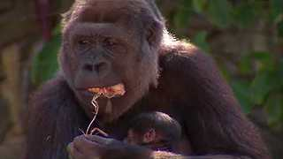 Rare Gorilla Born at Taronga Zoo - Video