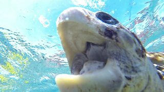 Endangered sea turtle tries to eat swimmer's camera