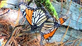 Beautiful monarch butterfly footage shows insects mating