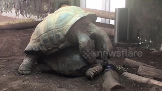 Two giant tortoises mate loudly at UK zoo - Video