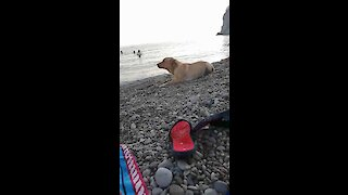 Golden Retriever gets ready to party at the beach