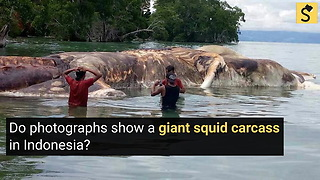 A Giant Squid Carcass was Found in Indonesia? - Video