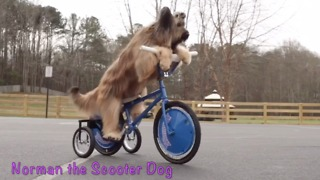 Check Out This Famous Scooter-Riding Dog And His Amazing Tricks  - Video