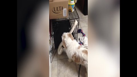 Determined Pup won't stop till he has his Toy in his Crate