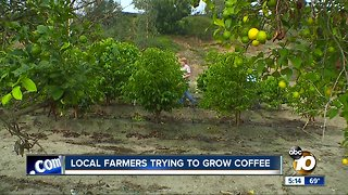 Local farmers trying to grow coffee
