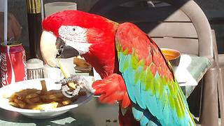 Parrot casually enjoys french fries at restaurant