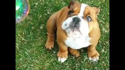 Cute English Bulldog is Delighted by Bubbles