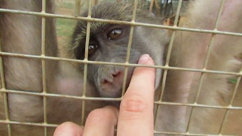 Adorable orphaned baboon wants attention