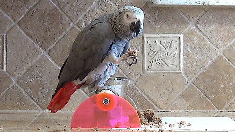 Helpful parrot provides instruction for lunch preparation