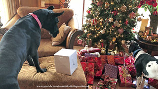 Great Dane puppy swipes gifts from underneath Christmas tree - Video