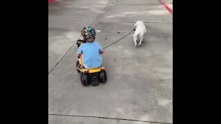 Energized puppy pulls kid on tricycle a little too hard
