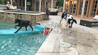 Pointer dog shows Great Dane how to pool surf