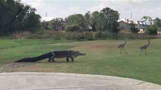 Gator Slowly Stalks Two Cranes Across Florida Golf Course - Video