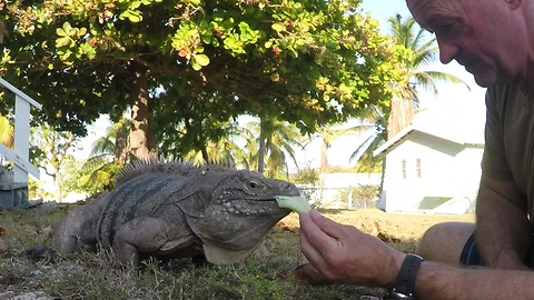 Huge iguanas run for salad treat