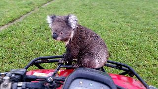 Koala-ty ride! Sneaky koala bear hitches lift on stunned Aussie farmer's quad bike - Video