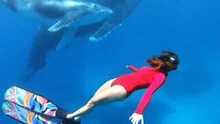 Diver comes eyeball to eyeball with humpback whale