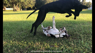 Great Dane loves to pounce & bounce with puppy