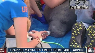 FWC rescues multiple manatees from Lake Tarpon
