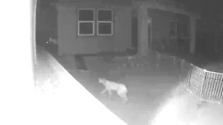 Viewer-submitted video shows a bobcat taking a stroll through an eastside yard.