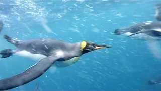 Diver Captures Amazing Swim With King Penguins