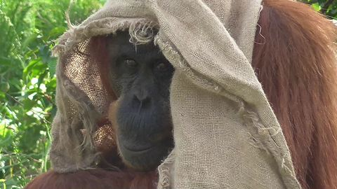 Fashionable orangutan comically models new outfit