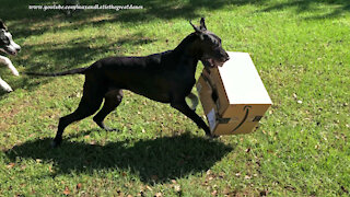 Great Danes uses teamwork to deliver and open Amazon box