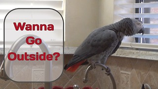 Parrot Watches Squirrels & Birds From Kitchen Window