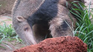 Young rescued anteater enjoying some tasty termite treats
