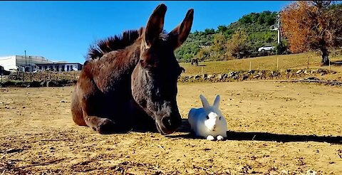 Rescue bunny says good morning to his donkey friends