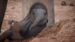 Baby elephant gets itself stuck in the sand - Video