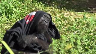 What a fashionista! This gorilla loves her new jumper