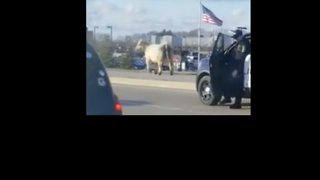 Indiana Police Chase Runaway Cow Down Noblesville Street