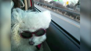 Adorable White Poodle Dog Enjoys The Ride - Video