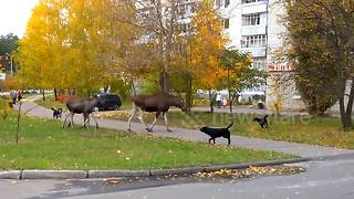 Mother elk chases dogs away from her calves - Video