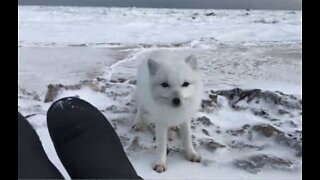 Arctic fox gets up close with explorers in Canada