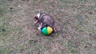 """""""The Cutest Puppy Plays with Beach Ball"""""""