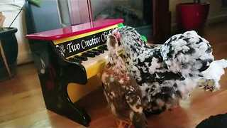 Talented Hen Plays Music for Her Adopted Chicks - Video