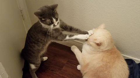 When This Cat Tried To Communicate With Her Big Brother, It Turned Out Just As Expected