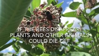 Bumble bee that used to thrive in our region is on the endangered species list - Video