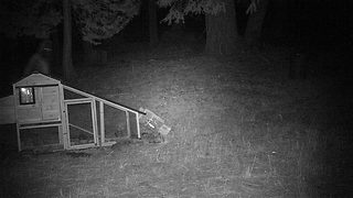 Bigfoot Caught Breaking Into California Man's Chicken Coop  - Video