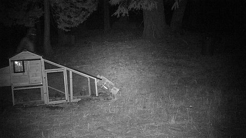 Bigfoot Caught Breaking Into California Man's Chicken Coop