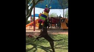 Watch a dog make several amazing leaps to take down a piñata full of tennis balls - Video