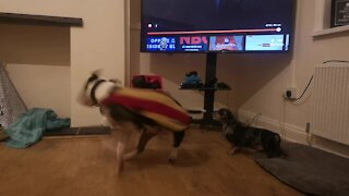 Dachshund not impressed by flamboyant greeting from bull terrier