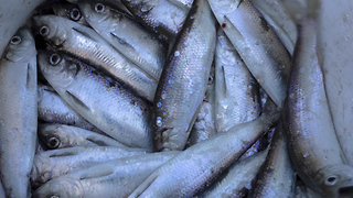 Herring Scandal Rocks the Netherlands - Video