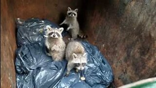 Baby raccoons found in New York's dumpster