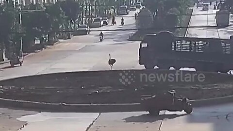 Ostrich on the loose sprints down busy road in China's Shiping