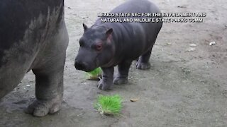 Mexican zoo celebrates birth of baby hippo