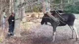 Man Rescues Moose Trapped by Tree Swing in Small Swedish Town - Video