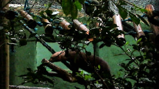 Young rescued tayra searches for hidden food