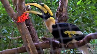 Beautiful giant hornbill plays happily with a new toy